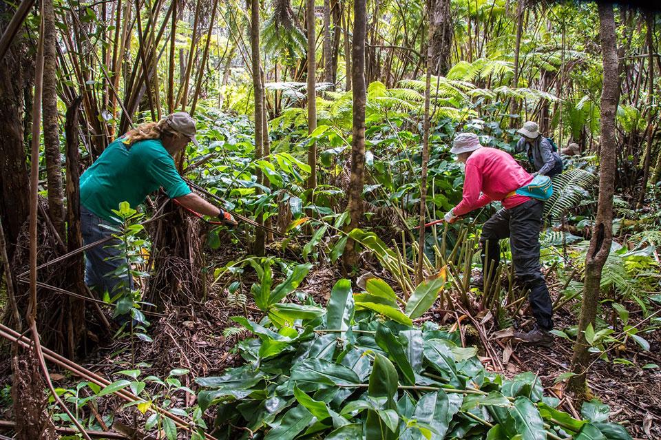 Restoring-native-rainforest-during-Stewardship-at-the-Summit_960